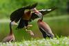 Black-bellied Whistling Ducks (stephaniepluscht) Tags: alabama 2018 black belly bellied blackbellied whistling duck ducks woodland plantation plaquemines parish fights