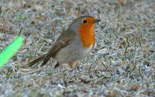 Robin in the morning.