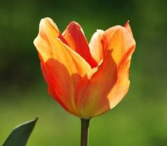Tulipe orange (mamietherese1) Tags: itsallaboutflowers alittlebeauty coth tulip coth5 world100f