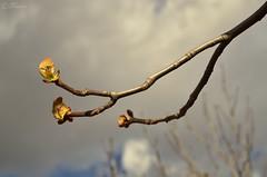 Ya se siente la primavera (Txemari Roncero) Tags: primavera capullos arbol planta primerplano nikon nikond7000 nikkor1685 txemarironcero