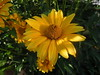 Russian flower (cloversun19) Tags: sun summer russia russian warm sunnyday flower nature green grass yellow flowers chamomile chamomiles tenderness petals petal country travel holiday summerholidays holidays sunflower macro bright garden morning beauty glory fairytale happy blooming blossoming blossom bloom flowering