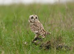 Short Eared Owl (Severnrover) Tags: owl aust earth winter visitor coastal marsh bird uk england birds