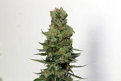 ripper-badazz-regular_7856_6_ (Watcher1999) Tags: badazz feminized cannabis california seeds medical growing plant marijuana bob marley smoking weed ganja legalize it