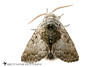 Yellowhorn - Hodges#9184 (Colocasia flavicornis) 20180324_4606.jpg (Abbott Nature Photography) Tags: photography neoptera noctuoidea hexapoda whiteseamlessbackground lepidopterabutterfliesmoths organismseukaryotes endopterygota pterygota animals noctuidaeowletmothsmillermoths arthropodaarthropods technique invertebratainvertebrates insectainsects moth gordo alabama unitedstates us