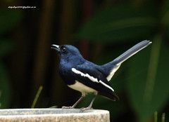 IMG_2836 Oriental Magpie Robin  (Copsychus saularis)-Male (vlupadya) Tags: great0nature aves fauna indianbirds oriental magpie robin copsychus kundapura karnataka