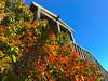 photinia near St James Tea Room (johngpt) Tags: plants photinia appleiphone7plus places stjamestearoom fence albuquerque newmexico unitedstates us ~~fencefriday~~ hff