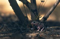 Barking Gecko (Underwoodisaurus milli) (Kristian Bell) Tags: barking gecko underwoodisaurus milli bendigo wild wildlife animal lizard reptile fauna australia kris kristian bell macro