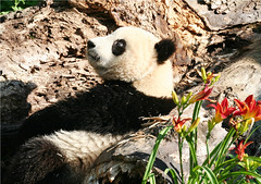 What trouble can I get into next? (somesai) Tags: panda bright think tian lookup tai nationalzoo endangered pandas meixiang taishan dczoo butterstick pandaunlimited sidef