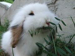 The big white rabbit (da.bo) Tags: italy cute rabbit bunny adorable lopear nus aosta lionhead mafaldo davidboardman