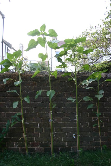 Sunflower Competition - day 63