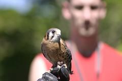Little falcon (Greg-O-Ree) Tags: bokehsoniceaugust bokehsoniceaugust11