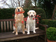 Little apples for big dogs - by Miss Chien