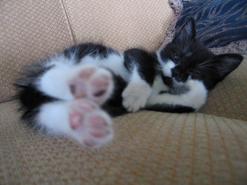 cute stretching tuxedo kitten cat pic