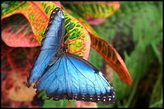 Blue Morpho butterfly - nature blue macro morpho butterfly blauer bleu morphobleu papillorama morphopeleides bluemorpho magicdonkey