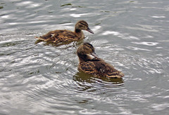 Ducklings (nicky's) Tags: nationaltrust clumberpark 12aug2006