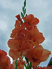 Orange Gladioli (nicky's) Tags: nationaltrust clumberpark 12thaugust2006