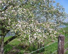 Apple (Wontolla65) Tags: flowers trees bomen bloemen malus