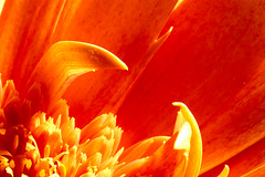 The Claws of a Gerbera (Chesil) Tags: flower macro nature floral closeup gerbera bloom supermacro chesil flore gerberadaisy