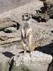 Meerkat (sitharus) Tags: newzealand zoo meerkat raw wellington e300
