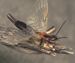 Earwig Wings! (Sean McCann (ibycter.com)) Tags: animals wings insects bugs earwig dermaptera