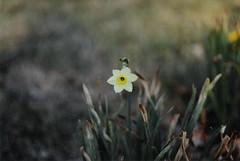 daffodil brown