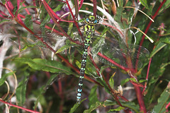 "Southern Hawker (Aeshna cyanea) Drago(1) • <a style=""font-size:0.8em;"" href=""http://www.flickr.com/photos/57024565@N00/229894060/"" target=""_blank"">View on Flickr</a>"