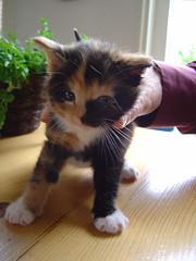 Klein POESJE!!!! (Dimormar!) Tags: katten kittens huisdieren poesjes lapjeskat