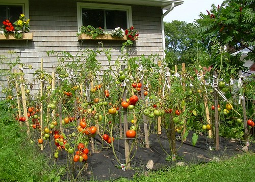 My Tomato Patch by freddyfoyle