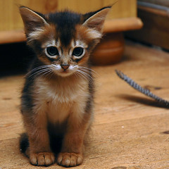 Cute or not? (peter_hasselbom) Tags: cute cat kitten floor feather explore somali paws hardwood ruddy 10weeksold cc100 cc1000 tenweeksold bestofcats