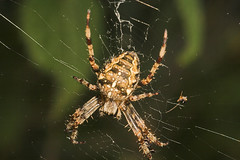 "Garden Cross Spider (Araneus diademat(7) • <a style=""font-size:0.8em;"" href=""http://www.flickr.com/photos/57024565@N00/236858166/"" target=""_blank"">View on Flickr</a>"