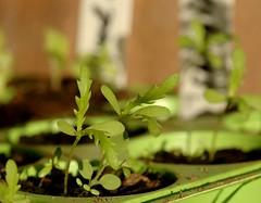 春菊 shungiku (michenv) Tags: plant green gardening michelle australia mygarden seedlings albury growingfromseed 春菊 shungiku michenv fromseed japaneseherb japaneseplant raisingfromseed