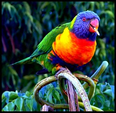 rainbow lorikeet (Vanessa Pike-Russell) Tags: bird nature vibrant australia telephoto nsw mostinteresting fujifilm popular rainbowlorikeets wollongong myfaves 4aces s5600 mootrade vanessapikerussellcom vanessapikerussell