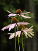 Coneflowers (Echinacea) #3 (laszlofromhalifax) Tags: pink flowers flower color colour nature topf25 topv111 ilovenature backyard echinacea bokeh olympus topc100 coneflower excellence purpleconeflower zd 222v2f 40150mm gettyimagescanada
