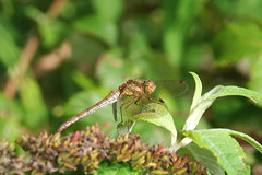 "Common Darter Dragonfly (Sympetrum s(24) • <a style=""font-size:0.8em;"" href=""http://www.flickr.com/photos/57024565@N00/243067868/"" target=""_blank"">View on Flickr</a>"
