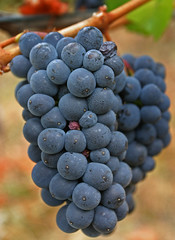 A Lovely Bunch of Pinot noir Grapes