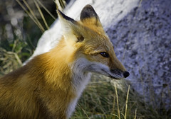 The Curious Fox (kotobuki711) Tags: red orange mountain lake ny newyork mammal drive driving roadtrip explore fox whiteface lakeplacid redfox canidae p1f1