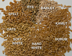 Wheat Berries (and some close relatives) (debunix) Tags: white soft berries wheat hard spelt durum kamut aestivum triticum turgidum cookingotw