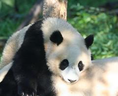 Tai loves his mommy (somesai) Tags: animal animals smithsonian panda tai endangered pandas butterstick
