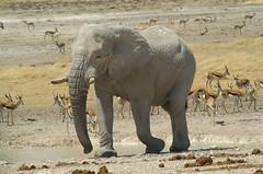 Etosha National Park (tim ellis) Tags: africa holiday elephant animal large photofriday namibia etosha springbok shongololo specanimal