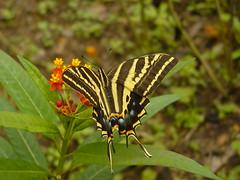 Tigre de tres colas / Three-tailed Swallowtail (Papilio pilumnus)