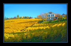 Fields of Gold (thnkfst) Tags: autumn fall beautiful yellow switzerland vines suisse searchthebest wine fujifinepix montreux vaud abigfave p1f1 artlibre vineyerds 4800z generouscomments generouscommentsadmissionthread