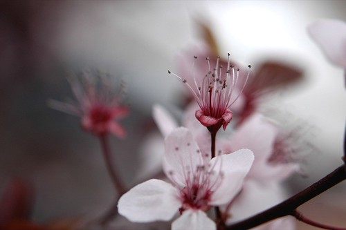 prunus blossoms