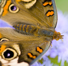 Close-up (J Gilbert) Tags: butterfly newjersey capemaypoint commonbuckeye 50v5f specnature specanimal animalkingdomelite