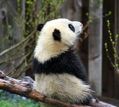 Waiting for my 'sicle (somesai) Tags: animal animals smithsonian panda tai endangered pandas taishan dczoo butterstick