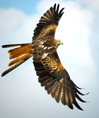 Red kite - Milvus milvus (Alan Saunders) Tags: wild bird birds animals flying wings bravo europe searchthebest flight feathers graceful birdofprey redkite milvus wildbirds milvusmilvus gigrinfarm specanimal animalkingdomelite abigfave top20zen supremeanimalphoto impressedbeauty