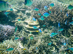 fish nature water coral japan rural island japanese islands countryside nationalpark healthy paradise underwater snorkel snorkeling clear tropical 日本 okinawa 沖縄 reef yaeyama 離島 skindiving 島 yaeyamaislands 八重山諸島 ruraljapan 琉球 tablecoral スノーケル hatoma 南西諸島 鳩間島 シュノーケル nansei 八重山列島 先島諸島 snorkelinginjapan sakishimaislands