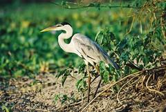 Blue heron (hvhe1) Tags: bird heron nature birds brasil ilovenature wildlife wetlands blueheron pantanal reiger vogel hennie hvhe1 hennievanheerden