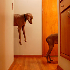 Disjointed dog (medalby) Tags: dog square levitation 100v10f multiplicity gustav weimaraner utata weekendproject disjointed 500x500 thelittledoglaughed utatainhalf hallwaysession2 lookingathisownbutt beus06 artlibres