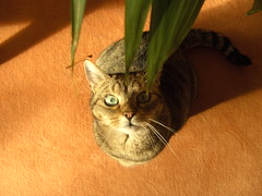 Lilly (mauzlover) Tags: cute cat nose feline chat lily tabby kitty lilly katze flickrsbest cc100 kissablekat animaladict bestofcats camfnov mauzlover