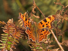 """Comma Butterfly (Polygonia c-album)(1) • <a style=""""font-size:0.8em;"""" href=""""http://www.flickr.com/photos/57024565@N00/264746633/"""" target=""""_blank"""">View on Flickr</a>"""